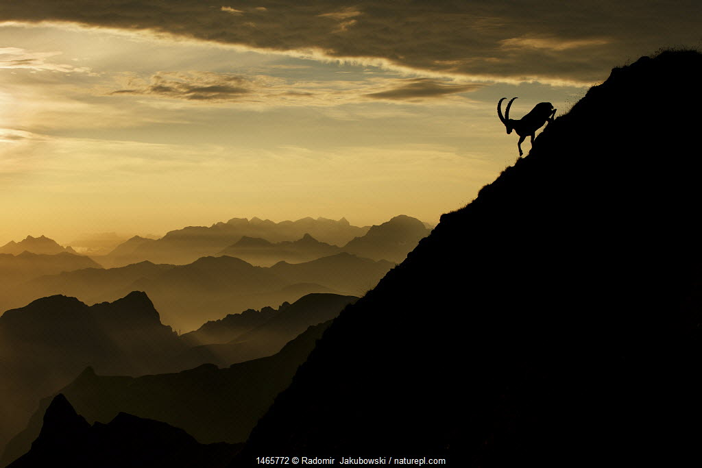 Alpine ibex (Capra ibex) male on mountainside at sunrise, Bernese Alps, Switzerland, July.