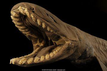 Frilled shark (Chlamydoselachus anguineus)