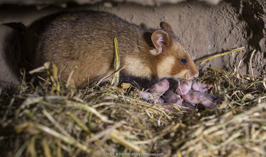 European hamster (Cricetus cricetus) female with five day old pups in burrow, captive.