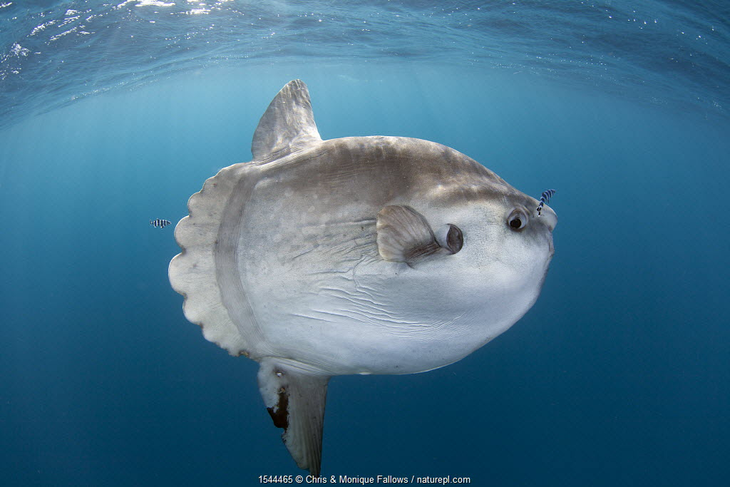 Sunfish (Mola mola) at Cape Point, South Africa.