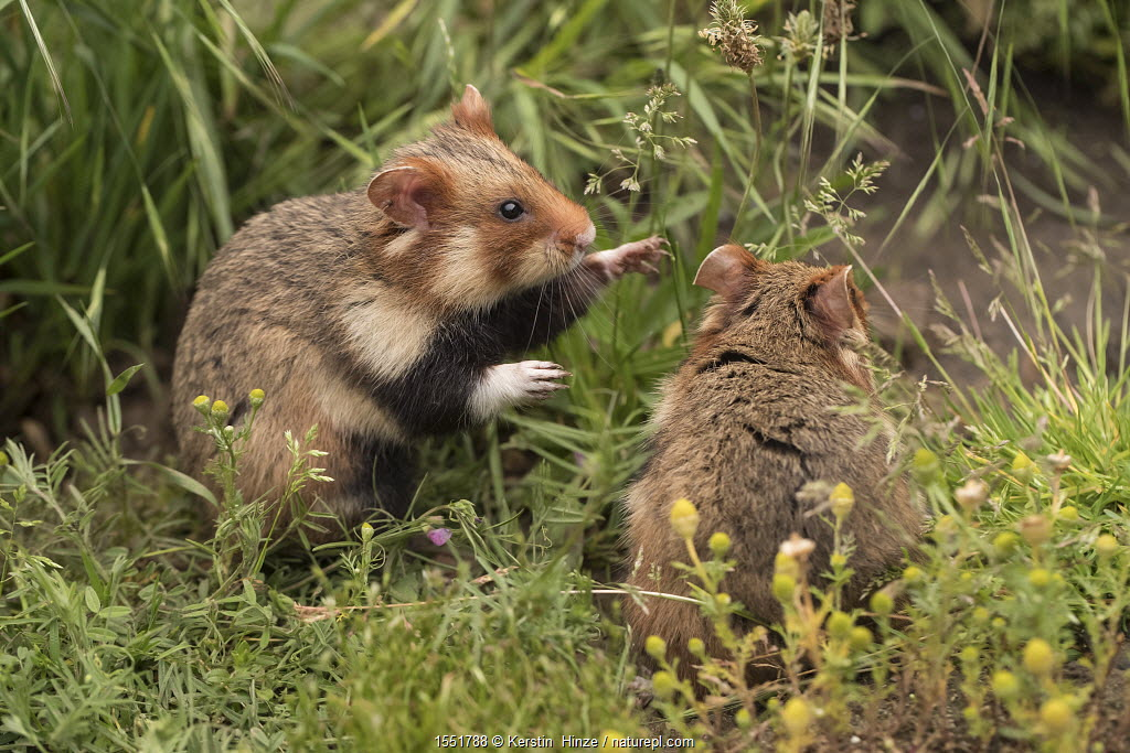 European hamsters (Cricetus cricetus) in meadow, captive.