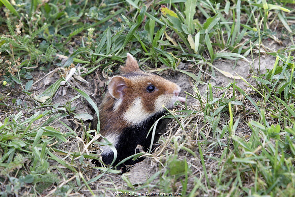 Common hamster (Cricetus cricetus), coming out from the burrow, Alsace, France, June.