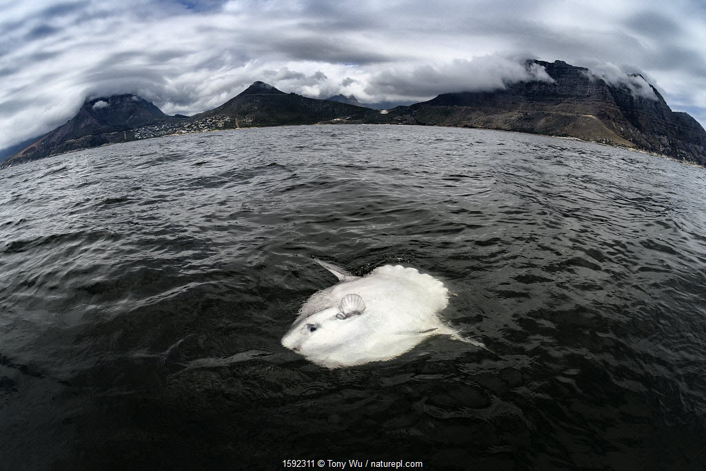 Ocean sunfish (Mola mola), basking at waters surface, South Africa, Atlantic Ocean.