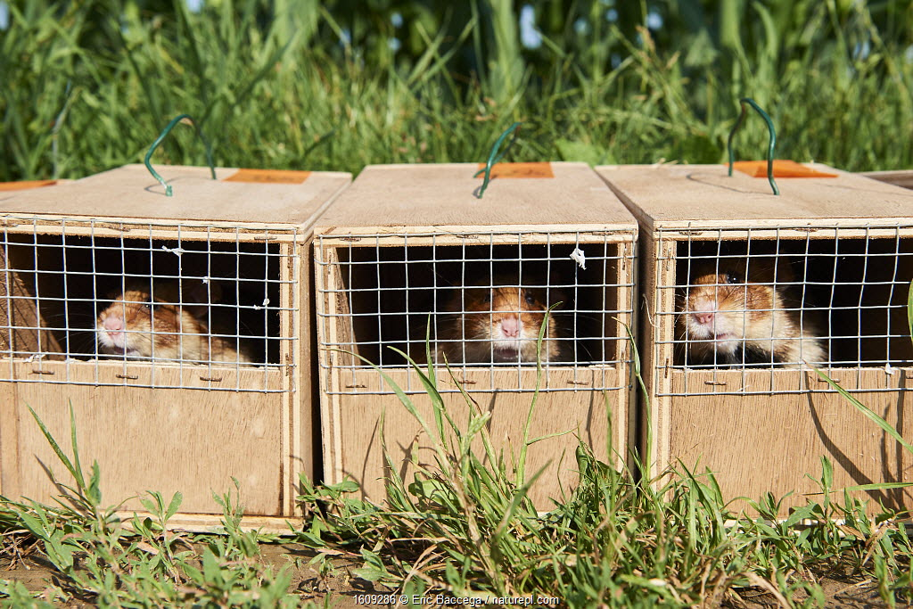 Common Hamsters (Cricetus cricetus) in cages ready for release in a wheat field. Geispolsheim, Alsace, France, June 2018