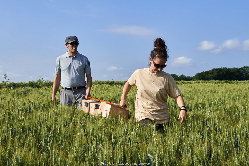 Scientists from the French Wildlife Department (ONCFS) with cages of Common hamsters (Cricetus cricetus) in a wheat field for release, Geispolsheim, Alsace, France, June 2018