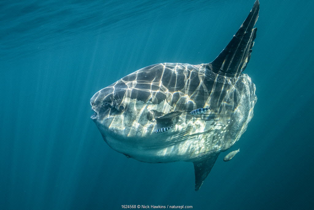 Ocean sunfish (Mola mola) off Halifax, Nova Scotia, Canada. July.