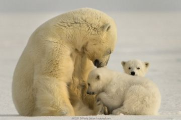 Polar bear (Ursus maritimus) female with two cubs, Svalbard, Norway.