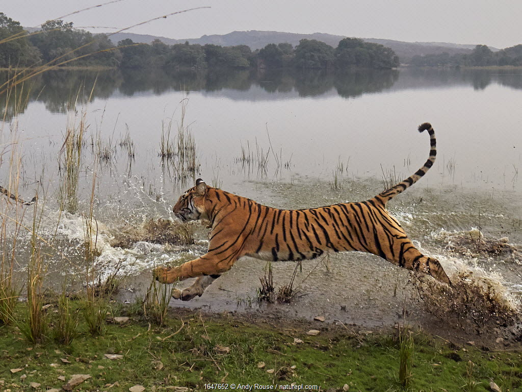 Bengal tiger (Panthera tigris) tigress 'Arrowhead' running through water, Ranthambhore, India