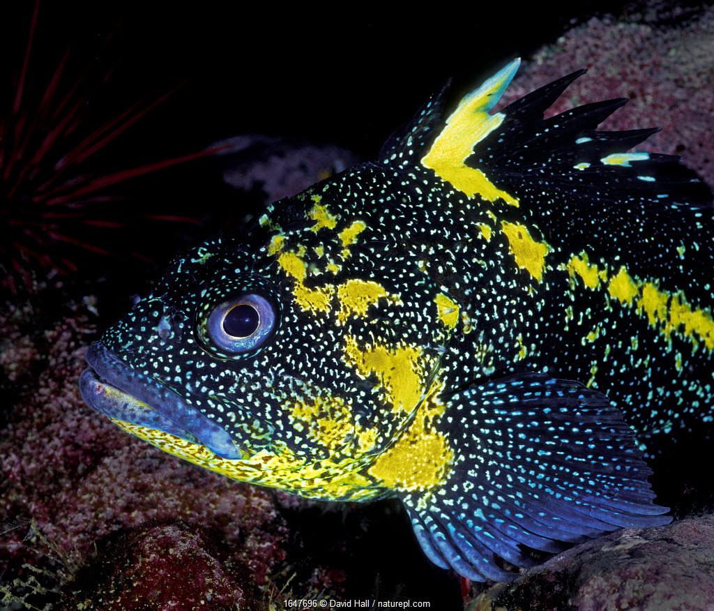 China rockfish (Sebastes nebulosus) Browning Pass, Queen Charlotte Strait, British Columbia, Canada. May.