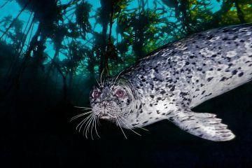 Harbor seal (Phoca vitulina) near the Wreck of the Themis, Croker Rock, Queen Charlotte Strait, British Columbia. September.