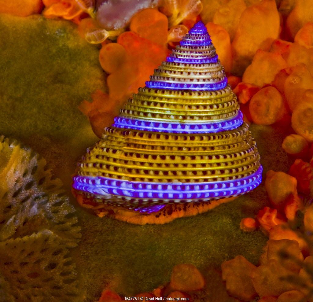 Purple-ringed Topsnail (Calliostoma annulatum), Orange Social Tunicate (Metandrocarpa taylori) and Lattice-work Bryozoan (Phidolophora pacifica), Browning Pass, Queen Charlotte Strait, British Columbia, Canada. September.