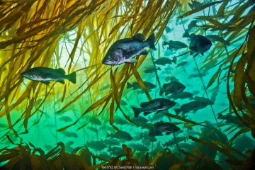 Schooling rockfishes (Sebastes spp.) with Bull kelp (Nereocystis luetkeana). Different species of rockfish often swim together in mixed schools, as here. Hunt Rock, Queen Charlotte Strait, British Columbia, Canada. September.