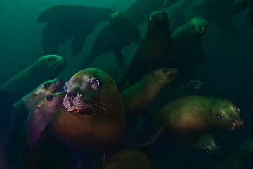 Steller sea lion (Eumetopias jubatus) group underwater, Hornby Island, British Columbia, Canada. February.