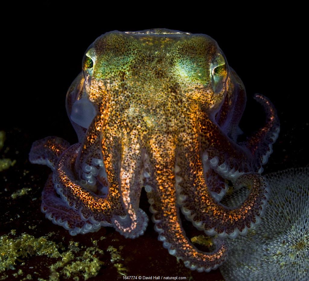 Stubby squid (Rossia pacifica) Nigei Island, Queen Charlotte Strait, British Columbia, Canada.