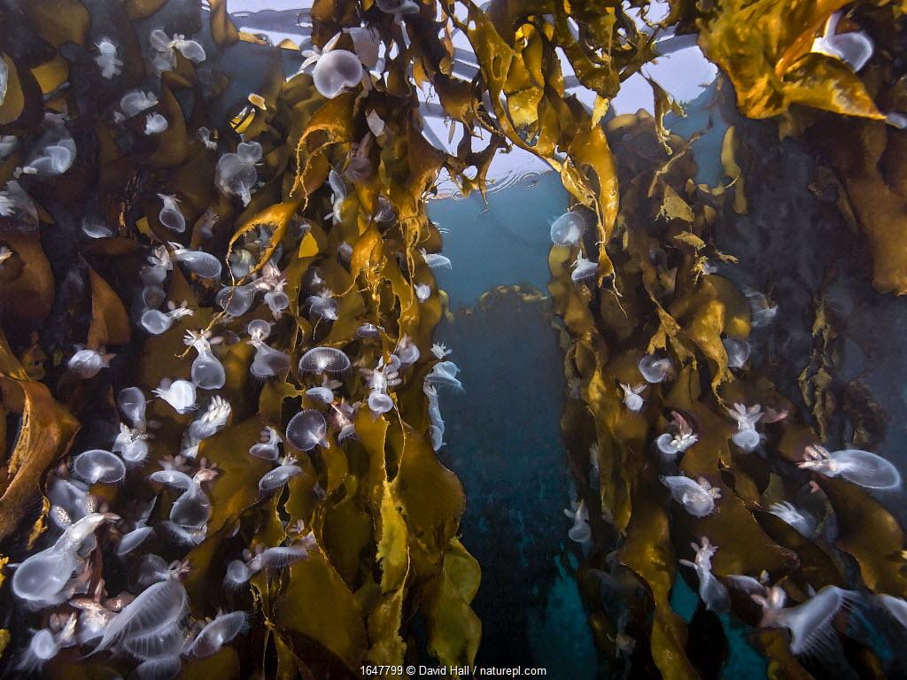 Hooded nudibranchs (Melibe leonina) clinging to Bull Kelp (Nereocystis luetkeana). Nigei Island, Queen Charlotte Strait, British Columbia, Canada. September.