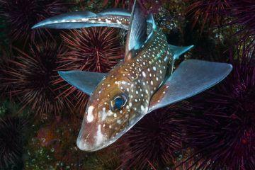Spotted ratfish (Hydrolagus colliei) Staples Island, Queen Charlotte Strait, British Columbia