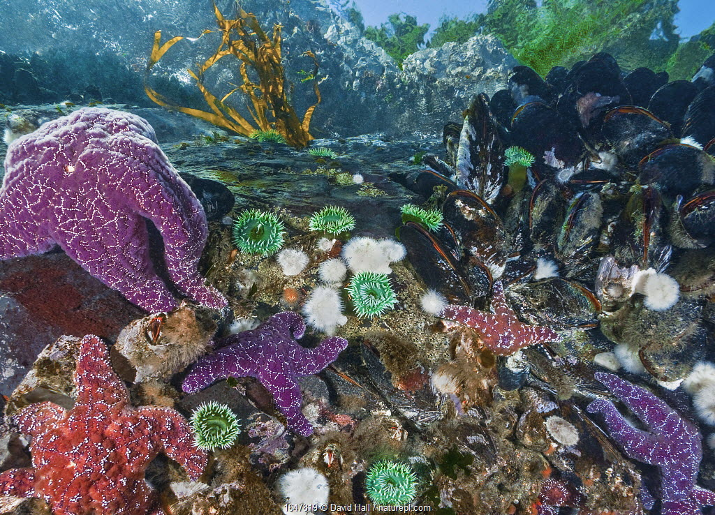 Purple and Ochre sea stars (Pisaster ochraceus) preying on Pacific blue mussels (Mytilus trossulus). Also seen are Green Surf Anemones (Anthopleura xanthogrammica), Short Plumose Anemones (Metridium senile), barnacles, limpets and other intertidal invertebrates. Browning Pass, Queen Charlotte Strait, British Columbia, Canada. September.