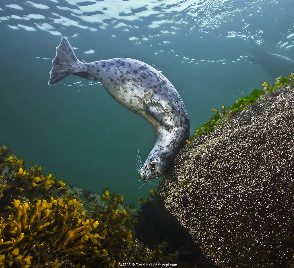 Harbor seal (Phoca vitulina) using a large,encrusted boulder as a tool to scratch its head against, Gowland Harbour, Quadra Island, British Columbia, Canada. March.