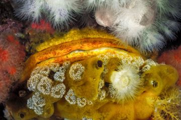 A Giant rock scallop (Crassadoma gigantea) encrusted with and surrounded by several other invertebrates animals, including White anemones (Metridium sp.), White mushroom ascidians (Distaplia sp.), Red soft coral (Gersemia sp.), unidentified yellow sponges, and a sea cucumber. Seven Tree Island, Browning Pass, Queen Charlotte Strait, British Columbia, September.