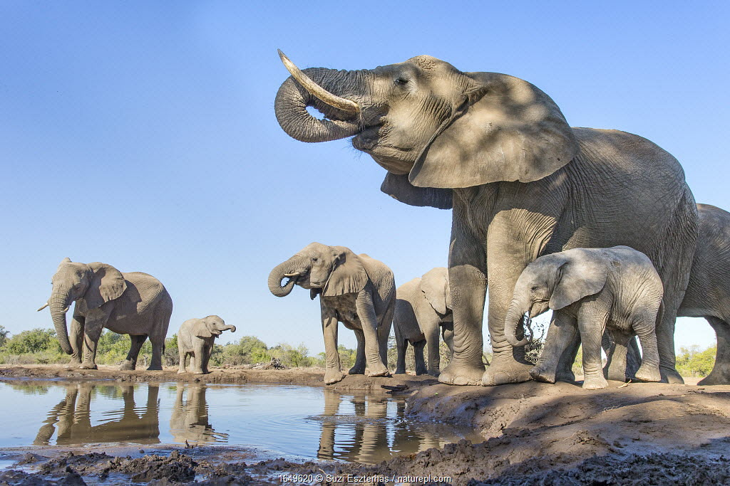 African elephant (Loxodonta africana) herd drinking at a waterhole, Mashatu Game Reserve, Botswana. June.