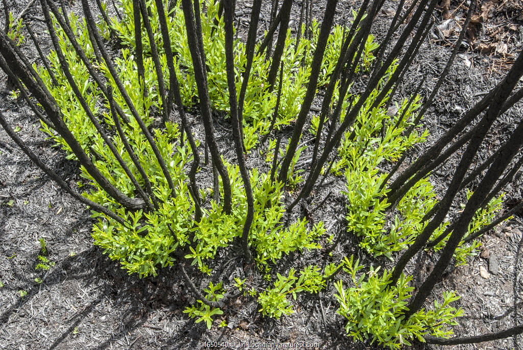 Severely burnt shrubs re-sprouting from lignotubers shortly after bushfire, Walpole Nornalup National Park, Western Australia. February 2009.