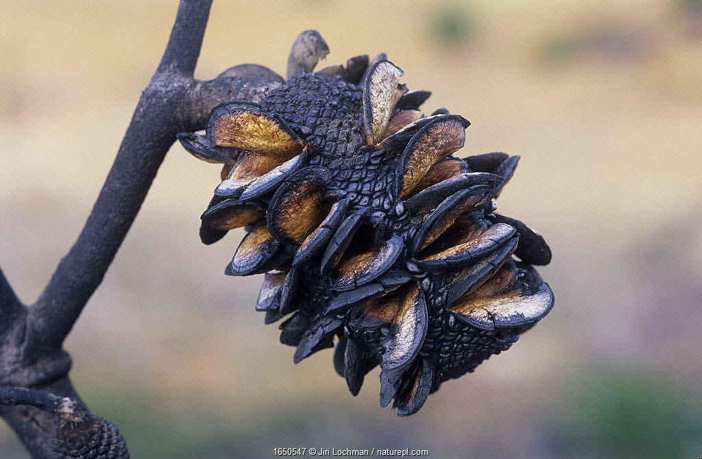 Red lantern banksia (Banksia caleyi), a pyrophile which opens its cones to release seeds only after a fire, Stirling Range National Park, Western Australia, October 2002.