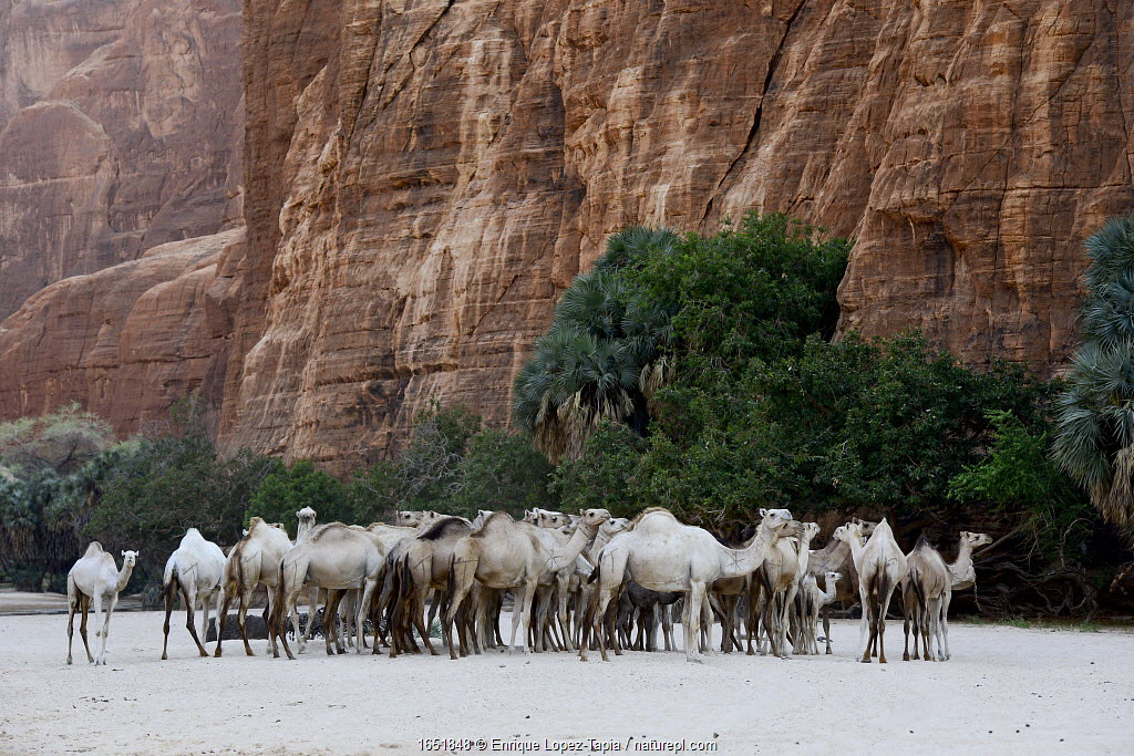 Dromedary camel (Camelus dromedarius) herd in a gorge with water on the Ennedi plateau. Ennedi Natural and Cultural Reserve, UNESCO World Heritage Site, Chad. September 2019.