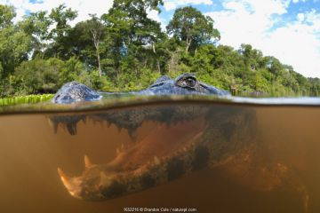 Spectacled caiman (Caiman yacare), split level view in the Pantanal wetlands region, Brazil, South America.