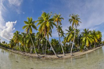 Palm trees on Rangiroa atoll, Tuamotus. French Polynesia, Pacific Ocean.