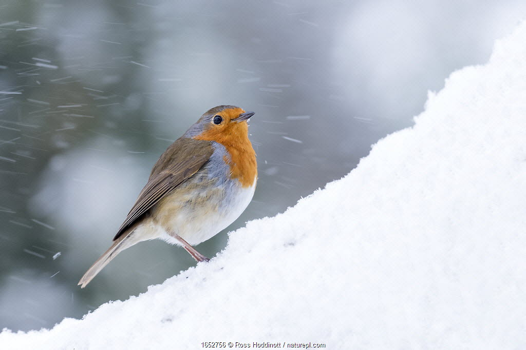 Robin (Erithacus rubecula) in snow, Broxwater, Cornwall, UK. March.