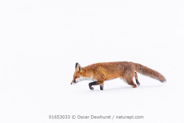 Fox (Vulpes vulpes) in snow, Londong, England, UK, January.
