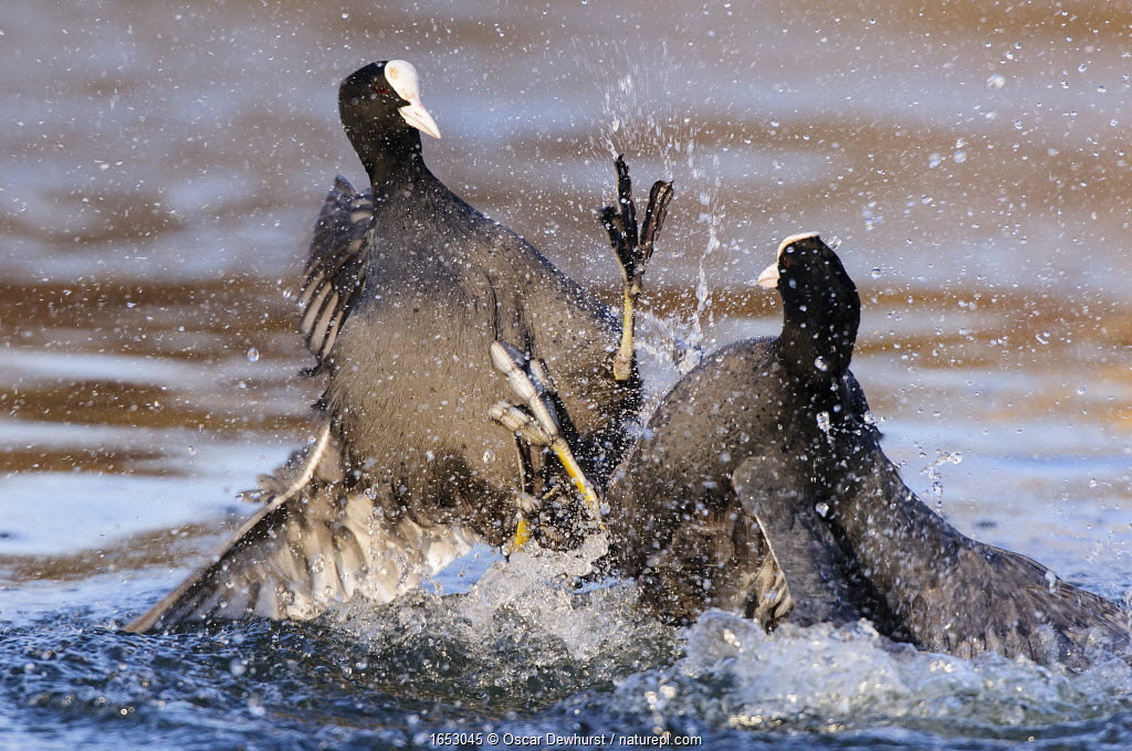 Eurasian coot (Fulica atra) males fighting over territory. London, England, UK. December.