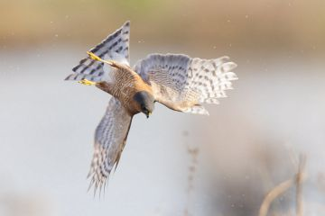 Eurasian sparrowhawk (Accipiter nisus), hunting snipe over marshland. London, England, UK. December.