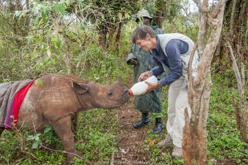 Black rhino (Diceros bicornis) orphan aged 18 months being bottle-fed by photographer Tui De Roy. Tui originally discovered the poached mother in bushes and alerted Game Managers to the orphaned calf who was sucessfully rescued, David Sheldrick Wildlife Trust Orphanage, Nairobi, Kenya.