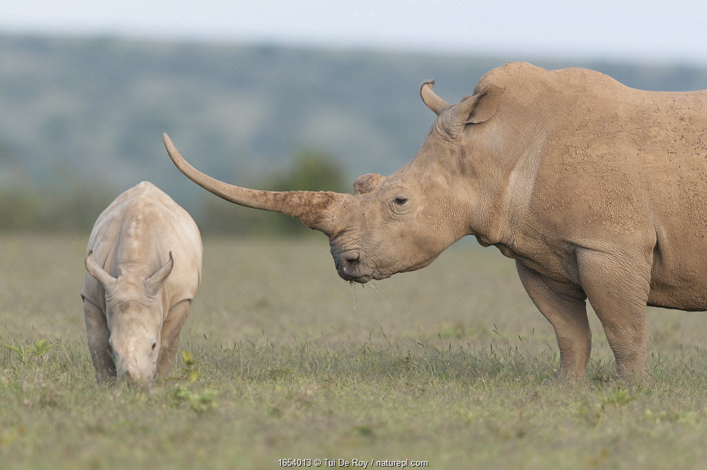 White rhinoceros (Ceratotherium simum) with unusually shaped horn, Solio Game Reserve, Laikipia, Kenya. September.