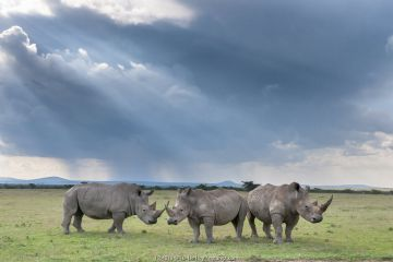 Three White rhinoceroses (Ceratotherium simum), Solio Game Reserve, Laikipia, Kenya. September.