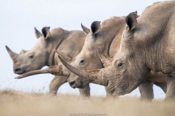 Three White rhinoceroses (Ceratotherium simum) walking together, Solio Game Reserve, Laikipia, Kenya. September.