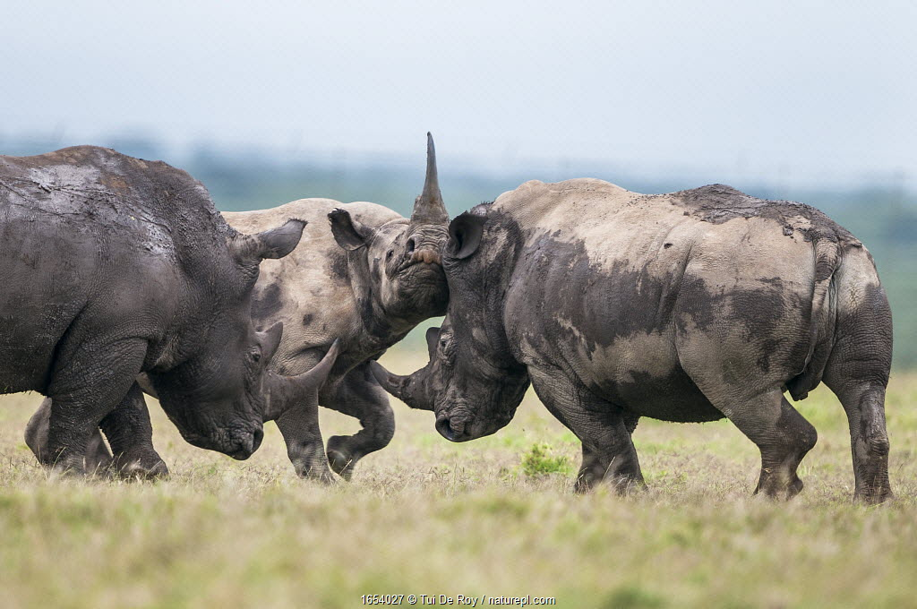 Black rhino (Diceros bicornis) and White rhino (Ceratotherium simum), being harrassed by playfighting White rhino bull, Solio Game Reserve, Laikipia, Kenya. September.