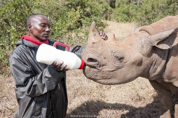 Black rhino (Diceros bicornis) orphan aged 18 months being bottle-fed by a keeper, David Sheldrick Wildlife Trust Orphanage, Nairobi, Kenya. October.