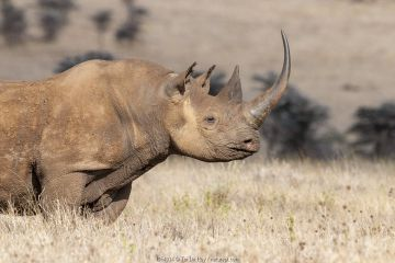 Black rhino (Diceros bicornis) with very long horn, Lewa Wildlife Conservancy, Laikipia, Kenya. October.