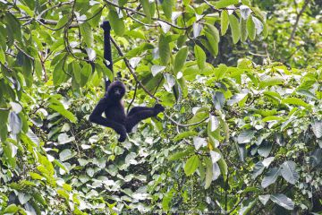 Cao Vit gibbon (Nomascus nasutus) male hanging from rainforest tree, Vietnam.