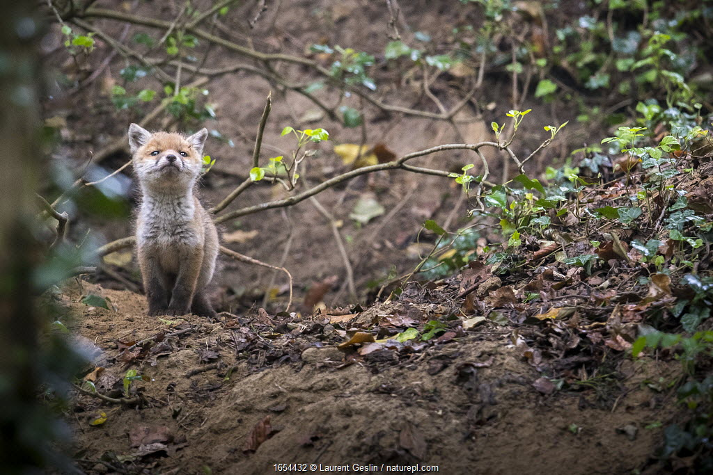 Red fox (Vulpes vulpes) young male cub near entrance to earth in woodland, Switzerland.
