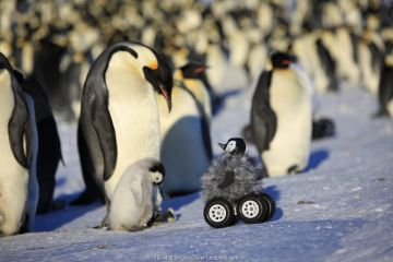 Robot disguised as penguin chick investigating Emperor penguin colony, Dumont d'Urville Station, Antarctica.