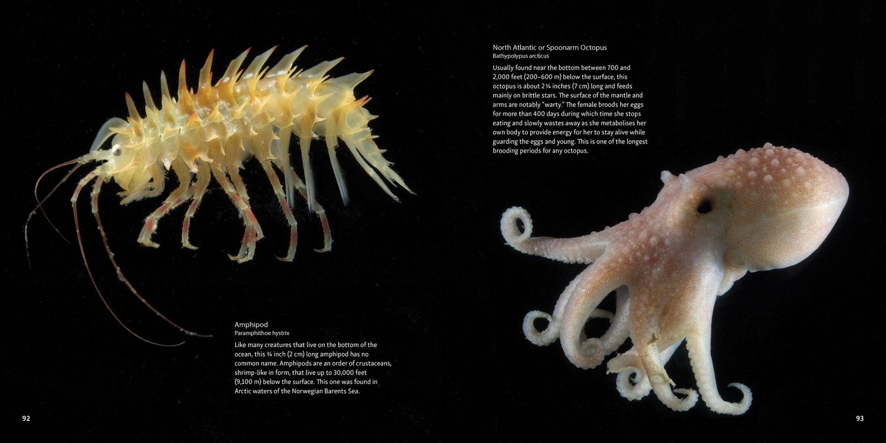 Amphipod {Paramphithoe hystrix} and Arctic Octopus {Bathypolypus arcticus}, Barents sea, Northern Europe (Book excerpt)