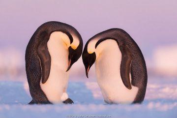 Emperor penguin (Aptenodytes forsteri) pair practising incubating with a snowball. Atka Bay, Antarctica.