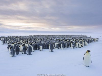 Emperor penguin (Aptenodytes forsteri) standing in front of huddling breeding colony.