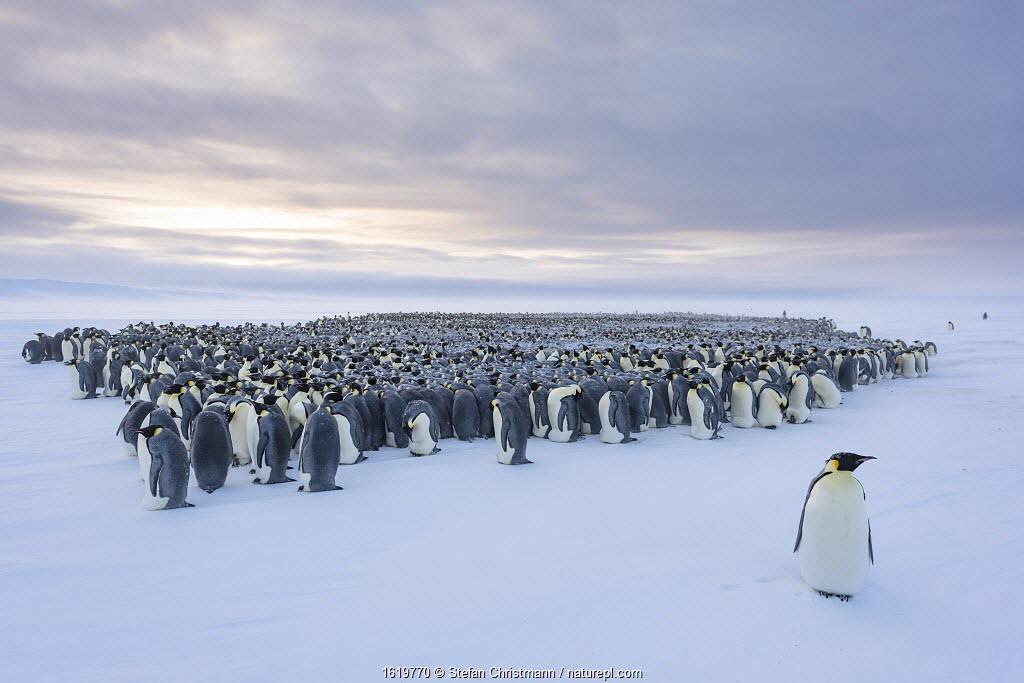Emperor penguin (Aptenodytes forsteri) standing in front of huddling breeding colony.