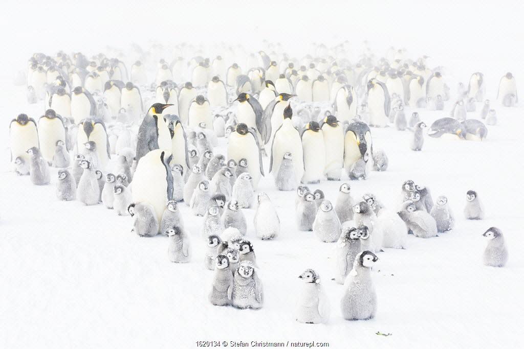Emperor penguin (Aptenodytes forsteri) colony with chicks.
