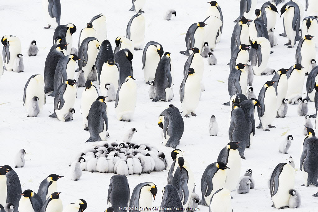 Emperor penguin (Aptenodytes forsteri) colony with with creche of huddling chicks