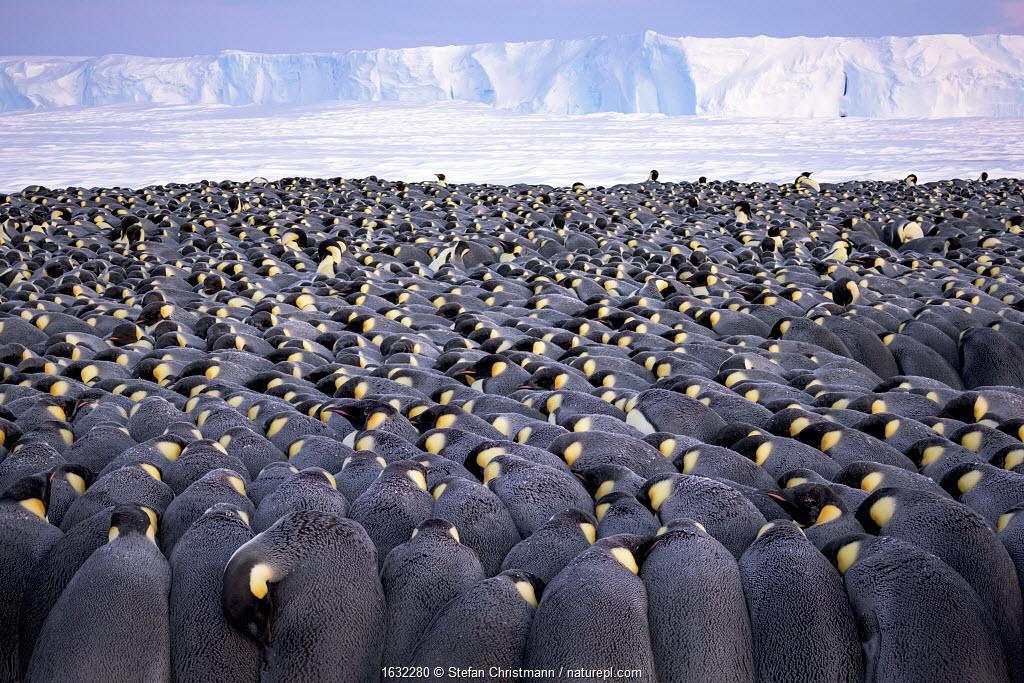 Emperor penguin (Aptenodytes forsteri) colony, males huddling whilst incubating eggs. Atka Bay, Antarctica.